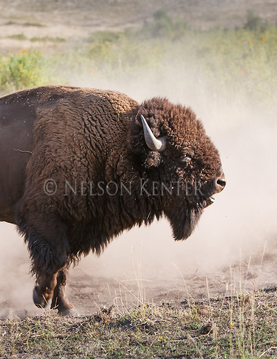 bison bull pawing the ground and raising dust while confronting another bull.