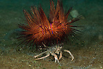 Sea Urchin Crab, (Dorippe frascone) carrying a fire urchin