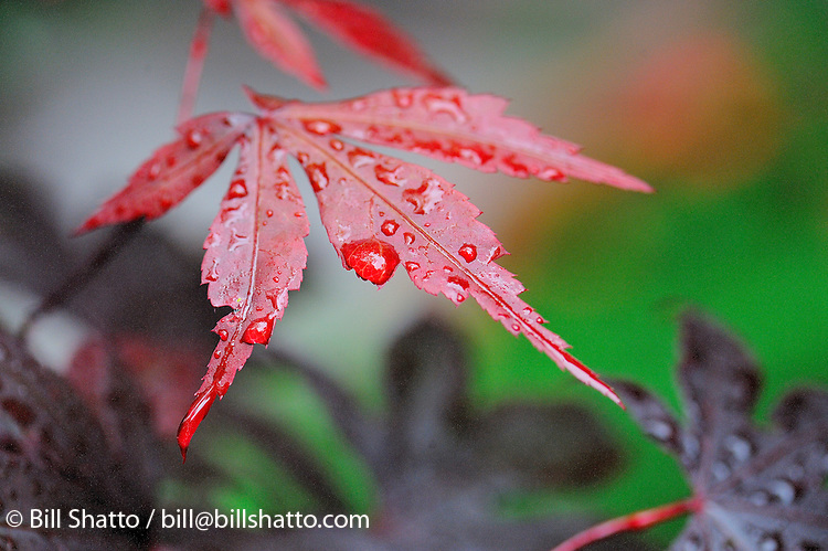 Raindrops on a Japanese Maple tree leaf.