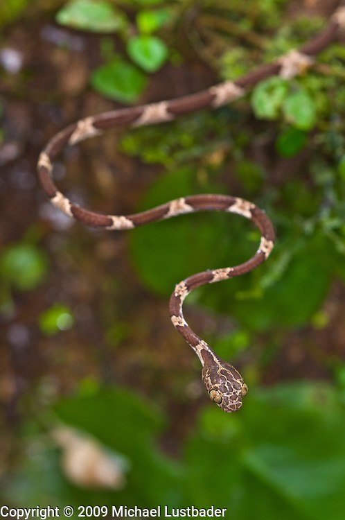 Blunthead Treesnake (Imantodes cenchoa)--eats smaller reptiles and amphibians.
