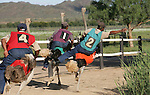 Foto: VidiPhoto..OUDTSHOORN/APELDOORN - Een struisvogelrace op de Highgate Ostrich Farm bij het Zuid-Afrikaanse Oudtshoorn in de Westkaap. Struisvogelraces zijn in Zuid-Afrika erg populair, met name onder de zwarte bevolking. De Partij voor de Dieren en de Dierenbescherming noemen het een vorm van middeleeuws vermaak en vinden dat een struisvogelrace in Ugchelen (gemeente Apeldoorn) op Pinkstermaandag verboden moet worden. De gemeente heeft echter al een vergunning voor het evenement afgegeven. Highgate is één van de 270 struisvogelfarms in de West-Kaap die de laatste jaren als paddestoelen uit de grond zijn geschoten. .