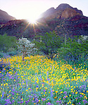 USA, Arizona,  Organ Pipe Cactus National Monument.  Wildflowers and Cacti at sunrise.