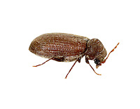 furniture beetle<br /> Anobium punctatum