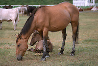 Mare eating and Foal resting in Corral