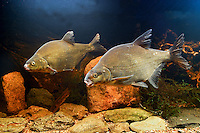 Heimische Süßwasserfische