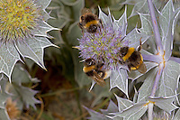 Vestal Cuckoo Bumblebee -  Bombus vestalis (left and top) with Bombus terrestris or lucorum on Sea Holly.