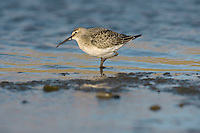 Curlew Sandpiper Calidris ferruginea L 19-21cm. Small, elegant wader. Similar to Dunlin but separable by noting long and obviously downcurved bill and white rump. Sexes are hard to separate. Adult in summer has spangled reddish brown, black and white back and (briefly) brick red on face, neck and underparts (appears mottled in moulting migrants). Male is brighter than female. Winter adult (seldom seen here) has greyish upperparts and white underparts. Juvenile (commonest plumage encountered here) has scaly-looking back, white belly and buffish breast; note pale supercilium. Voice Utters a soft prrrp call. Status Breeds in high Arctic and seen here as scarce passage migrant, usually on estuaries and coastal pools, often with Dunlins.