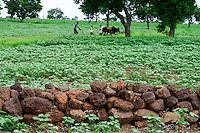 BURKINA FASO, Koumbia, cotton farming, farmer with ox weeds cotton field, stone wall for erosion protection / Baumwollanbau, Farmer pfluegt und jaetet Baumwolle Feld mit Ochsengespann, Steinwall als Erosionsschutz