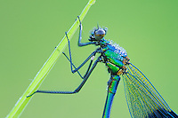 Banded Demoiselle (Calopteryx splendens), male perched dew covered, Zug, Switzerland