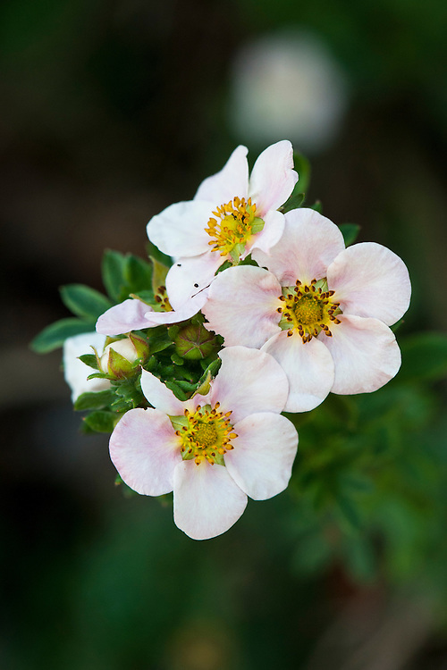 Pink-flowered Potentilla fruticosa 'Sophie's Blush', early August. Common name shrubby cinquefoil.
