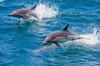 Long-beaked Common Dolphin pair (Delphinus capensis) encountered off Isla Espiritu Santo in the southern Gulf of California (Sea of Cortez), Baja California Sur, Mexico.