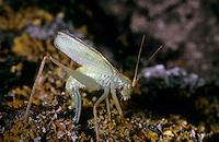 Gemeine Eichenschrecke, Weibchen bei der Eiablage, Meconema thalassinum, Meconema varium, drumming katydid, oak bush-cricket, oak bush cricket, female, Tettigoniidae