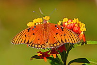 Gulf fritillary at butterfly weed