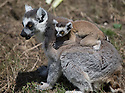 16/05/16<br /> <br /> &quot;That looks so scary.&quot;<br /> <br /> Three baby ring-tail lemurs began climbing lessons for the first time today. The four-week-old babies, born days apart from one another, were reluctant to leave their mothers&rsquo; backs to start with but after encouragement from their doting parents they were soon scaling rocks and trees in their enclosure. One of the youngsters even swung from a branch one-handed, at Peak Wildlife Park in the Staffordshire Peak District. The lesson was brief and the adorable babies soon returned to their mums for snacks and cuddles in the sunshine.<br /> All Rights Reserved F Stop Press Ltd +44 (0)1335 418365