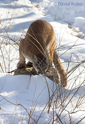 0218-1005  Mountain Lion (Cougar) in Snow, Puma concolor (syn. Felis concolor)  © David Kuhn/Dwight Kuhn Photography.