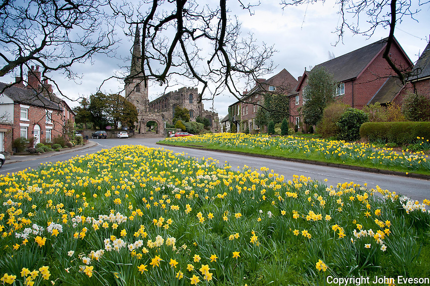 Daffodils growing on the village green at Astbury, Congleton, Cheshire.