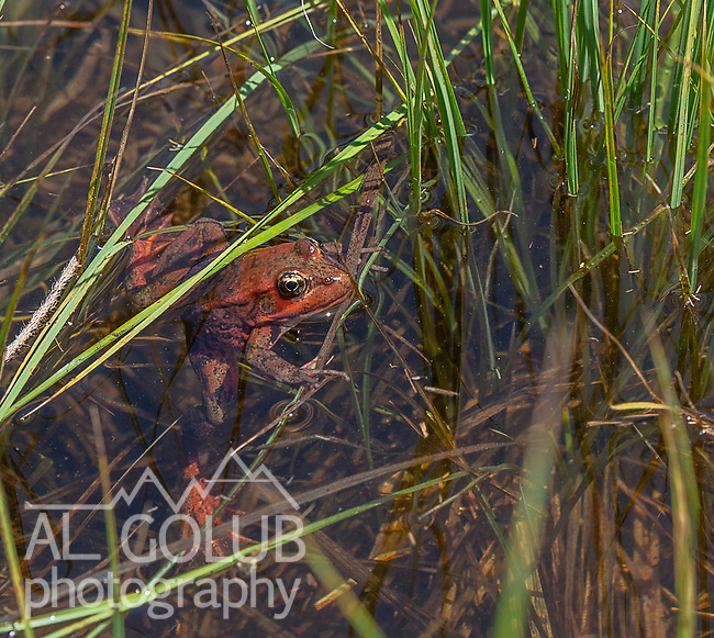 A close-up image of a Red-Legged Frog released today, Friday May 3, 2019 in Cooks Meadow in Yosemite Valley.   Photo by Al Golub, Yosemite Conservancy. All photos may be published in print and electronic media. These images have not been altered.