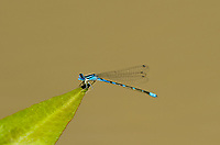 320190004 a wild male arroyo bluet enallagma praevarum damselfly perched on a plant leaf over canon grande creek maverick county texas united states