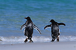 Gentoo Penguins on the Beach walking into ocean; Falkland Islands