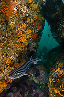 WP79545-D. Pyjama Shark (Poroderma africanum), also called Lined Catshark or Striped Catshark, swims between boulders covered with gorgonians and sea urchins. Size to 3 feet long, feeds on variety of small fishes and invertebrates such as crustaceans and cephalopods. South Africa, Indian Ocean.<br /> Photo Copyright © Brandon Cole. All rights reserved worldwide.  www.brandoncole.com