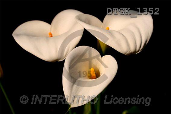 Gisela, FLOWERS, photos(DTGK1352,#F#) Blumen, flores, retrato