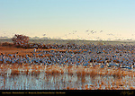 Snow Geese, Morning Flyout, Bosque del Apache Wildlife Refuge, New Mexico