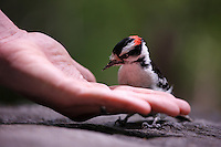 Downy Woodpecker (Picoides pubescens medianus), male taking peanuts from the hand of a birdwatcher.