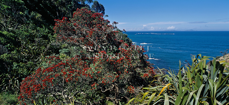 Flowering Pohutakawa tree. Whananaki. Northland Region. New Zealand.