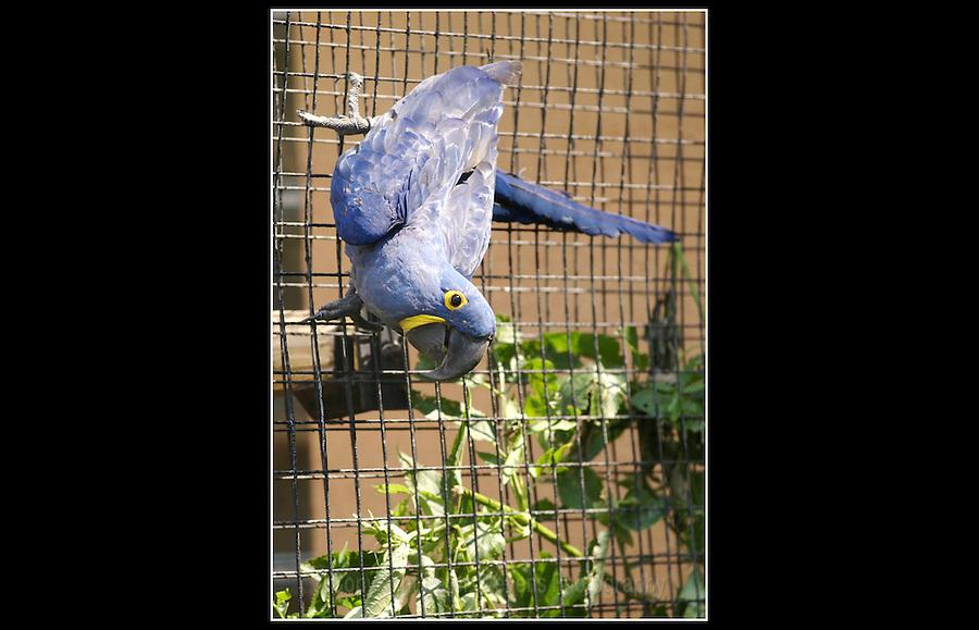 Hyacinth Macaw (Anodorhynchus hiacynthus) - Zoological Society of London - 16th June 2003