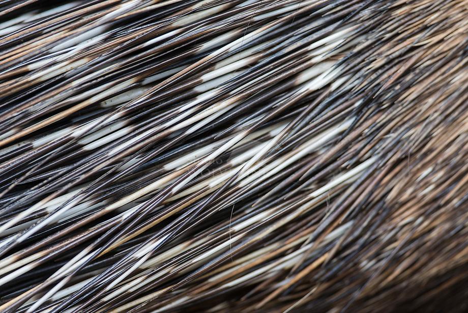 Afrikaans Stekelvarken ( Hystrix cristata)