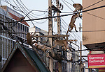Monkeys climb on Power Wires in down town