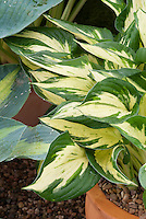 Hosta 'Revolution with white cream center, variegated shade garden folige plant, in pot container