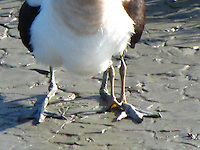 A cropped, close-up of the extra legs giving evidence of the chick tucked under the adult Avocet's wing. <br />