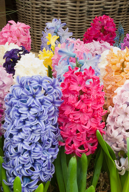 Mixture of hyacinthus bulbs in flower plant flower stock mixed hyacinth spring bulbs in many colors blue red orange yellow mightylinksfo