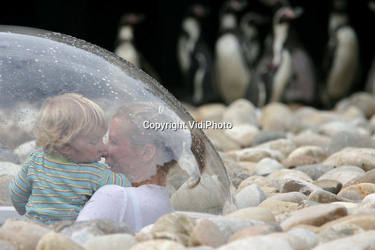 Foto: VidiPhoto..RHENEN - Happy Feet in Ouwehands Dierenpark in Rhenen. Met zichtbaar plezier genieten de de Humbolt pinguïns vrijdag van hun nieuwe verblijf en het bassin van 100.000 liter water. In dit bassin kunnen ze bovendien op jacht gaan naar vis. Door middel van een koepel in het onderkomen kunnen kinderen en ook ouders een kijkje nemen midden in de kolonie. De Humboldt pinguïn is een bedreigde diersoort. In tegenstelling tot de andere pinguïnsoorten leeft de Humboldt pinguïn niet aan de Zuidpool, maar langs de kust van Peru in Zuid-Amerika.