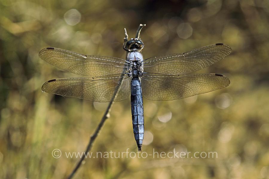 Südlicher Blaupfeil, Männchen, Orthetrum brunneum, southern skimmer, male, Orthétrum brun