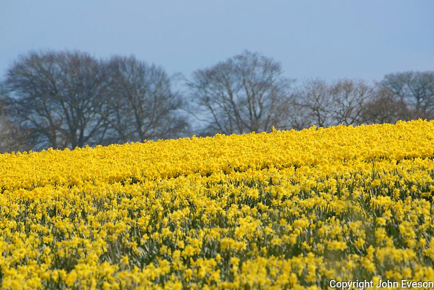 A field of daffodils in full flower, Rhuallt, Denbighshire, Wales.