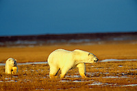 Polar Bears--sow with cub--walking across tundra near the Beaufort Sea coast, Arctic National Wildlife Refuge, Alaska.  Oct.
