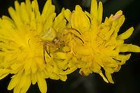 Gehöckerte Krabbenspinne, Krabbenspinne lauert auf Blüte auf Beute, Weibchen, Tarnung, Thomisus onustus, crab spider, female, camouflage, Krabbenspinnen, Thomisidae, crab spiders