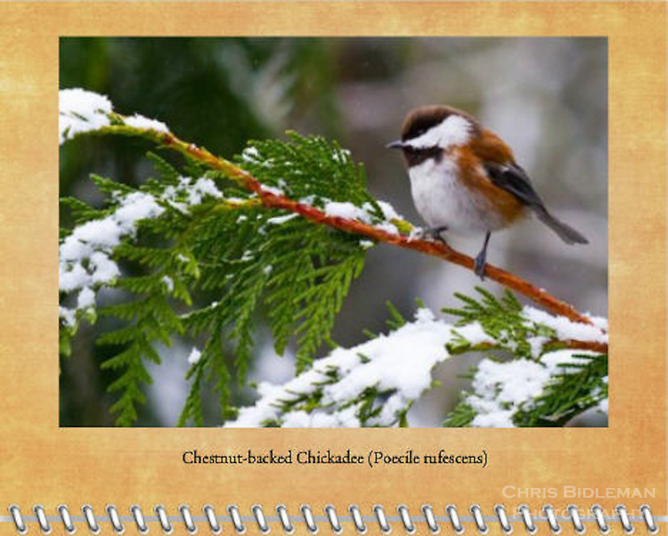 2015 Calendar - Birds of a Feather with photography by Chris Bidleman.<br /> A chestnut-backed chickadee (Poecile rufescens) is perched on a snow cover cedar tree branch during a Winter's day.