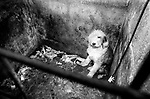 Puppy Farming Wales 1989. A Old English Sheepdog, who puppies have been taken away.<br />