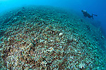 The effects of reef bombing by Dynamite fishermen - all coral destroyed, all fish gone, Komodo National Park