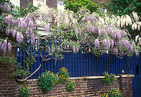 Two colors of Wisteria vines, lavender and white, climbing blue fence atop brick wall in front of house, with Corydalis lutea in wall crevices in flower in May spring