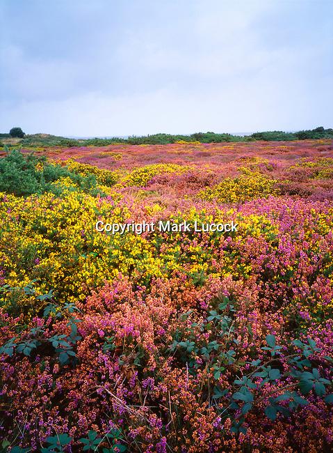 Suffolk Coastal Heath; Heather and gorse in bloom, Minsmere, Suffolk