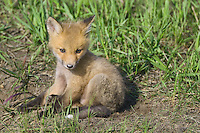 Red Fox Kit sitting outside its den