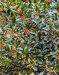 Holly (Ilex sp.), Washington Park Arboretum, Seattle, Washington, USA<br /> <br /> Canon EOS 5DS R, EF100-400mm f/4.5-5.6L IS II USM lens, f/22 for 2 seconds, ISO 100