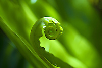 A close up of the curling tip of a green tropical plant in Waimea Valley Falls, on the North Shore of Oahu.