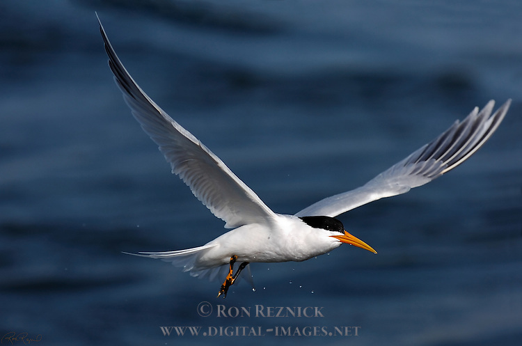 Elegant Tern in Flight, Bolsa Chica Wildlife Refuge, Southern California