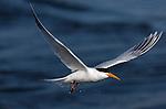 Elegant Tern in Flight, Bolsa Chica Wildlife Refuge, Southern California