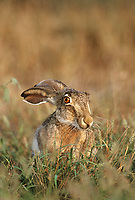 650228068v a wild black-tailed jackrabbit lepus californicus sits in wild grasses in a field in the lower rio grande valley of south texas united states